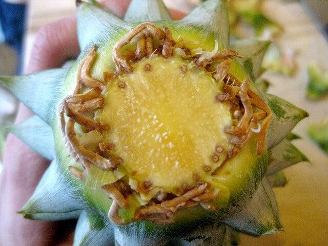 korona ananasa