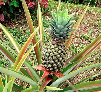 6#:ananas.jpg
