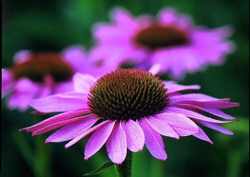 4#:Echinacea purpurea-odporność.jpg