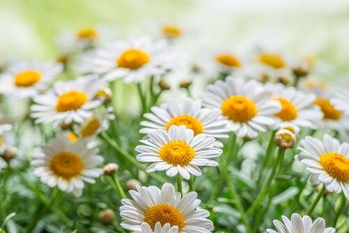 6#:Rumianek-rośliny lecznicze.jpg