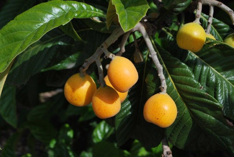 Owocujący nieśplik japoński