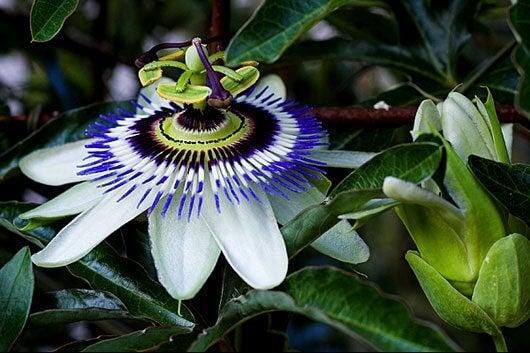 passiflora a lęk
