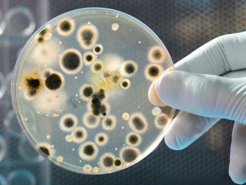Bakterie na szkiełku Petriego
