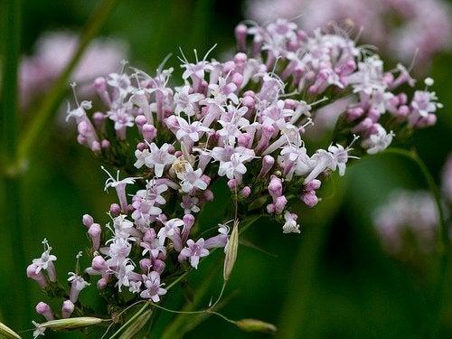 Kwiaty waleriany