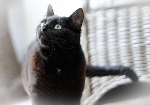 Czarny kot w domu