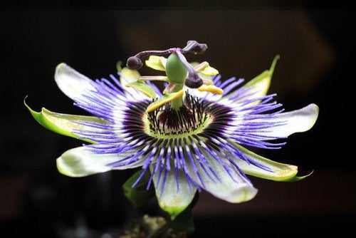Lecznicza passiflora