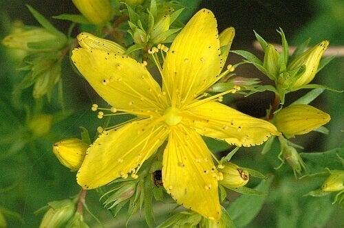 Kwiat dziurawca
