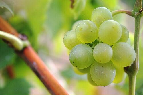 Kiść zielonych winogron