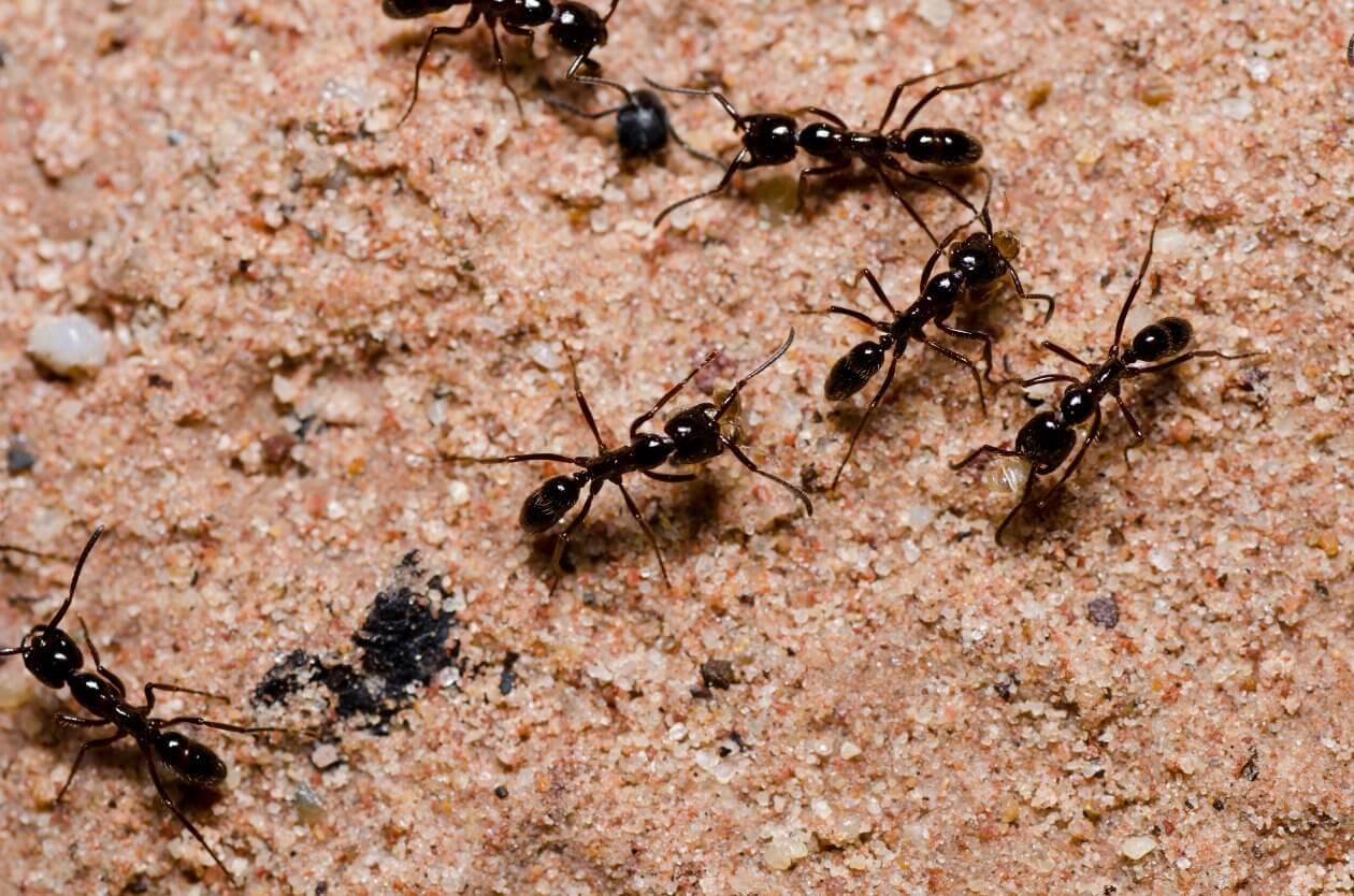 Atak mrówek