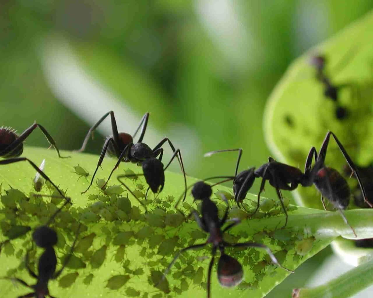 Mrówki na kwiatach