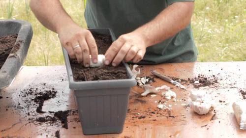 Wyhoduj czosnek i cebulę w domowym ogródku