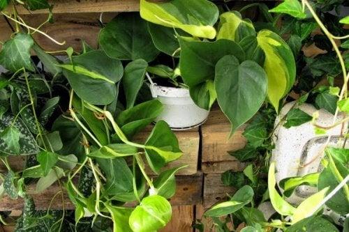 Rośliny płożące i pnące upiększą ogród na balkonie