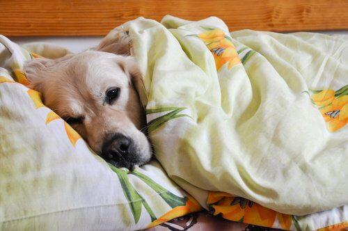 Pies w łóżku