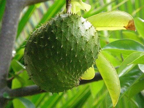 Guanabana na drzewie