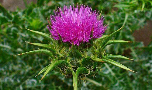 Kwiat ostropestu plamistego, by trzustka była zdrowa