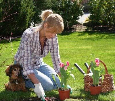 Kobieta sadzi tulipany