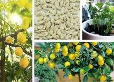 Jak wyhodować cytrynę?