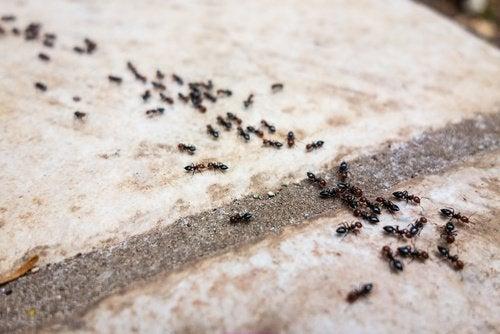 cytryna a mrówki