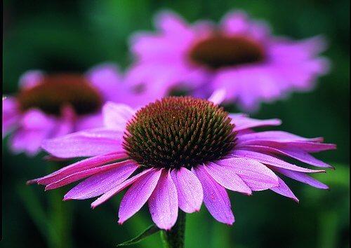 Echinacea - fioletowy kwiat