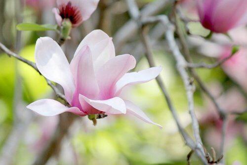 Magnolia to dobry sposób na siwe włosy