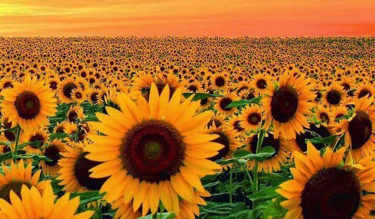 Pole pełne słoneczników