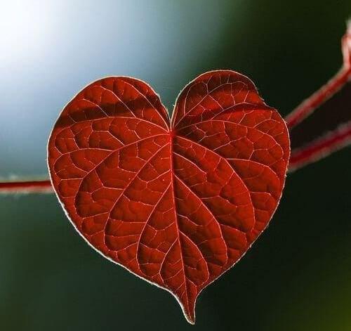 Czerwony liść w kształcie serca