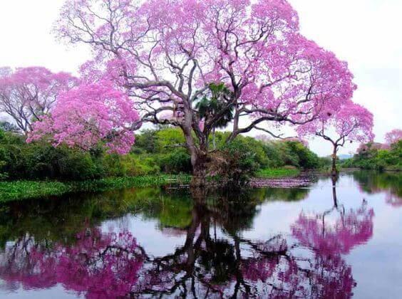 Okwiecone-drzewo
