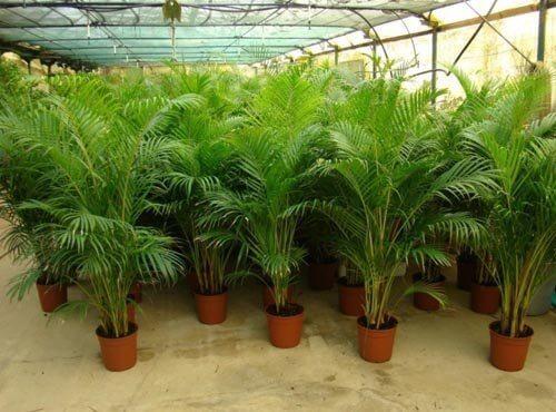 Palmy arekowe