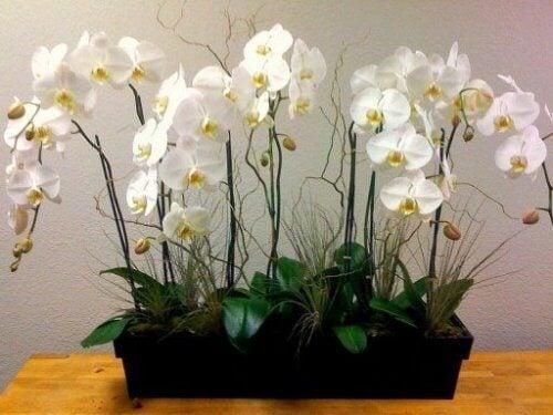 Białe storczyki w doniczce