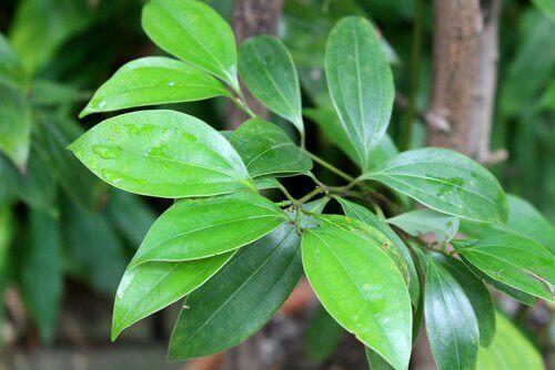 Cynamon - drzewo