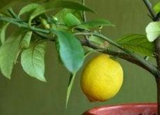 Drzewa owocowe - cytryna