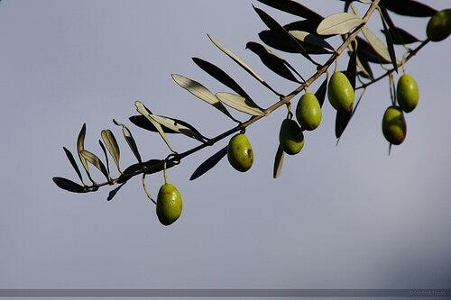 hodowanie oliwy arbequina w domu