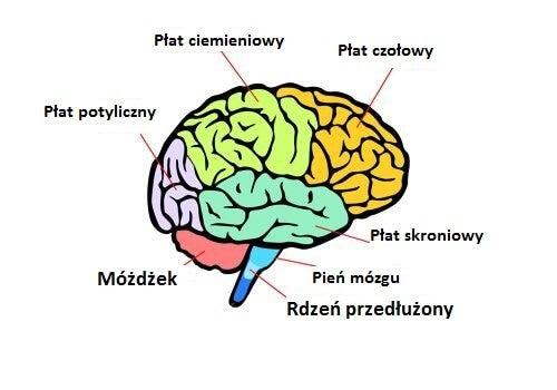 Części mózgu