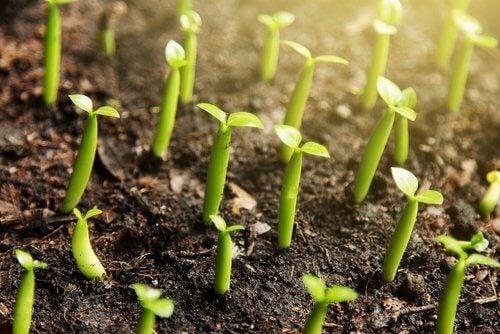 Kiełkujące rośliny