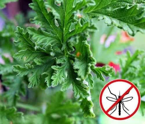 Roślina geranium