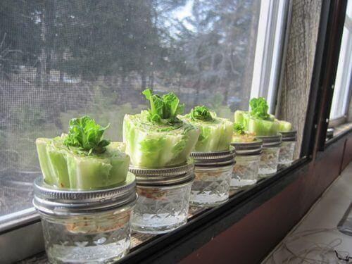Odrastające sałata