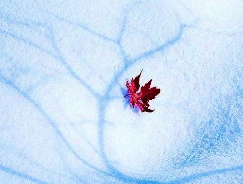 liść na śniegu