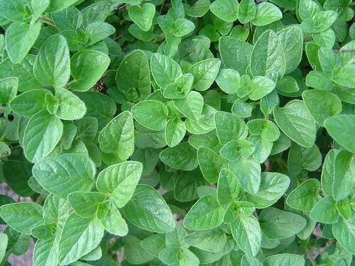 Świeże liście oregano na brodawki