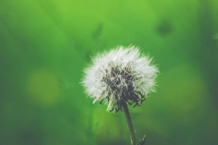 Dmuchawiec, alergia i nieżyt nosa