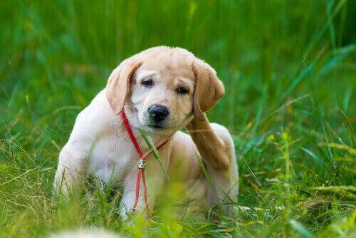 Pies się drapie a pchły