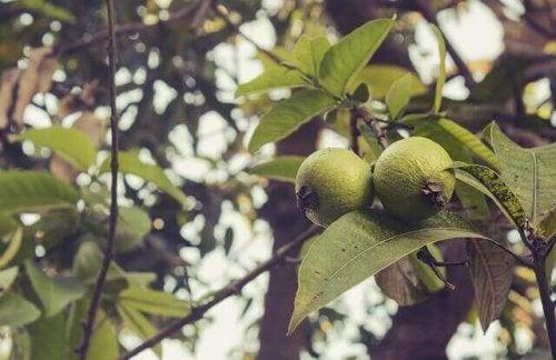 liście gujawy na Nieprzyjemny zapach z pochwy