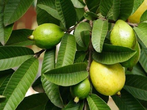 Liście i owoce gujawy