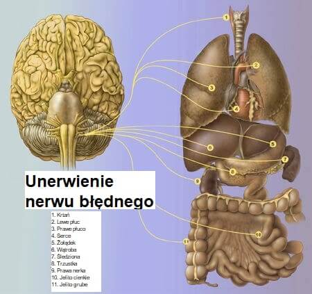 Nerw błędny - połączenia z organami