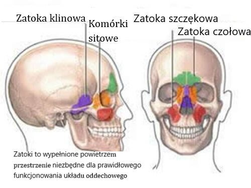 zatoki rysunek czaszki człowieka