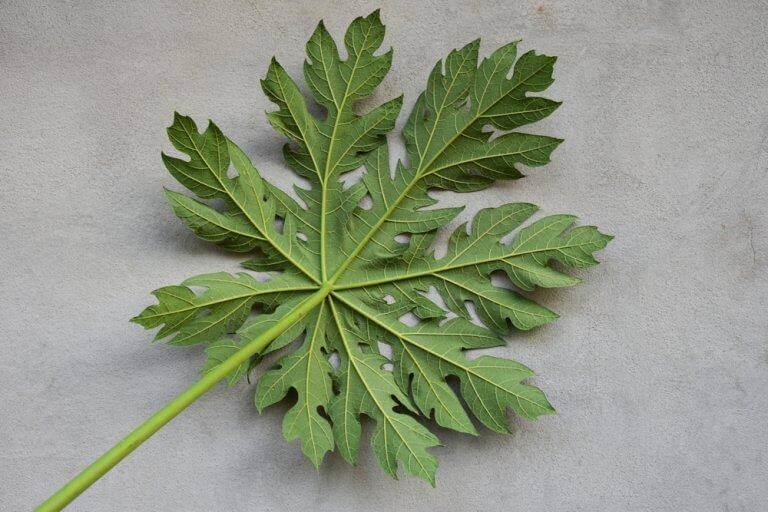 właściwości zdrowotne papai - liście