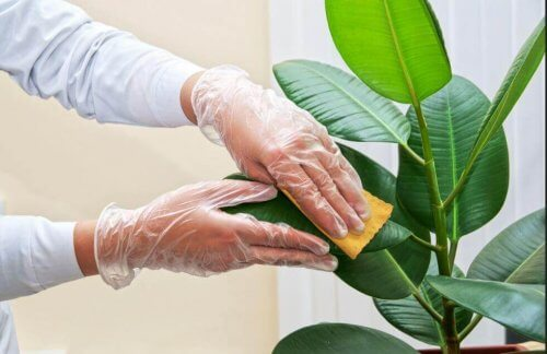 Liście roślin doniczkowych - jak je oczyszczać?