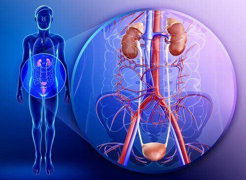 Nerki układ moczowy człowieka, pietruszka pomaga oczyścić