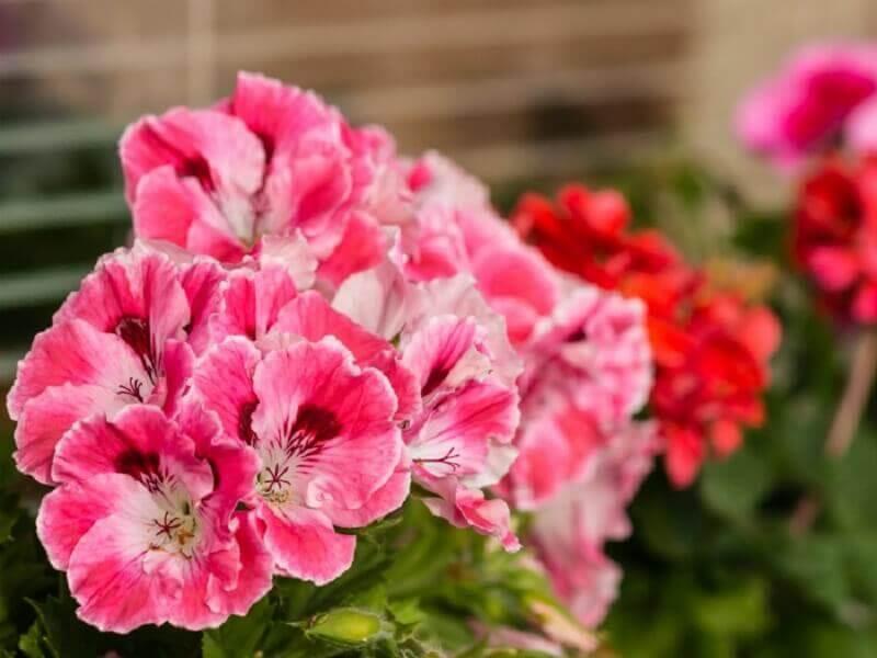Kwiaty geranium