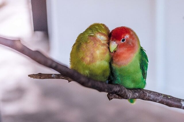 papużki nierozłączki - związek idealny