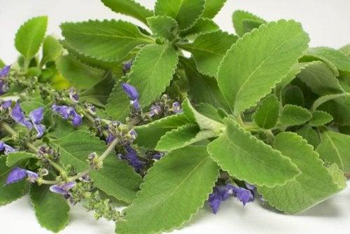 Liść boldo – remedium na dolegliwości układu moczowego